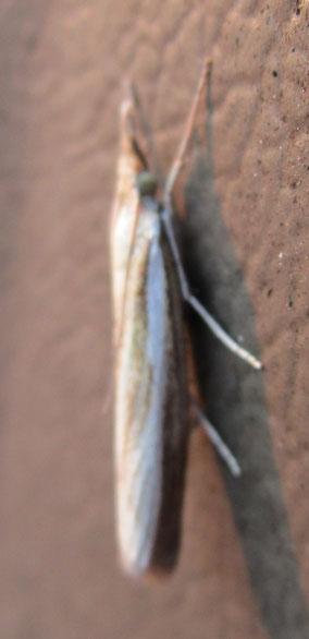As-yet unidentified crambid moth