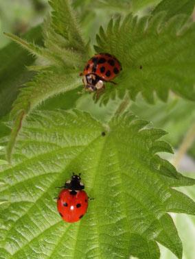 Harlequin ladybird Harmonia axyridis (top) and 7-spot Coccinella septempunctata (bottom)