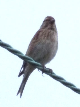 A twite or a linnet. But which?