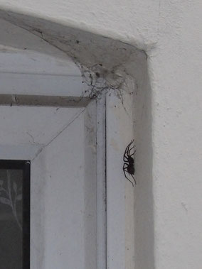Two photos of the same house spider Tegenaria domestica