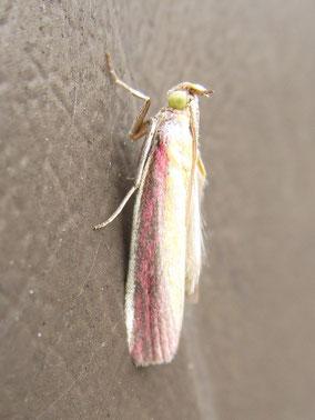 Rosy-striped knot-horn (or rhubarb and custard) moth Oncocera semirubella