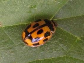 14-spot ladybird Propylea quattuordecimpunctata (or 14-punctata)
