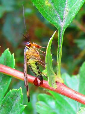 Scorpion fly Panorpa communis.