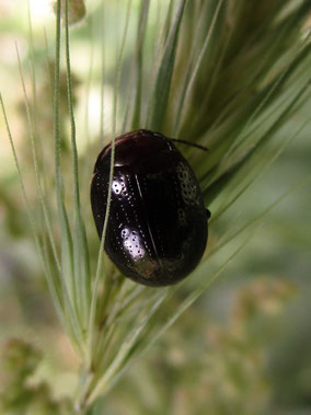 Leaf beetle Chrysolina Banksi
