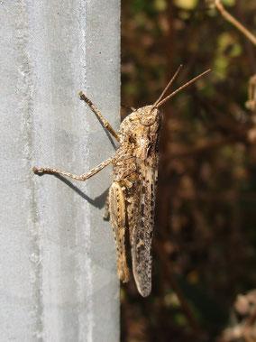 Grasshopper Common Field Chorthippus brunneus