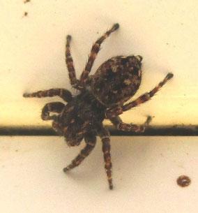 Jumping spider Sitticus pubescens