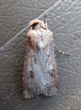 This one is a bit worn-out and knackered, and I thought it was a badly worn flame-shoulder Ochropleura plecta – but it turned out to be another new species for me, the pearly underwing Peridromia saucia