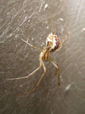 Spider Linyphia triangulata
