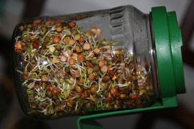 Lentilles germées (5 jours)