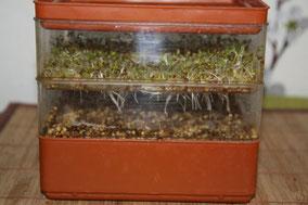 Millet germé (2 jours) et luzerne germée (4 jours)
