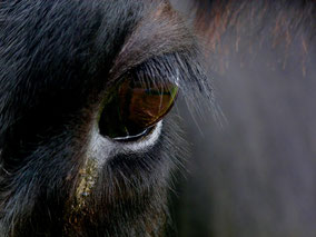 Sind Kühe wirklich lila?