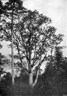 Große Eiche bei Brombach um 1905, Ludwig Klein