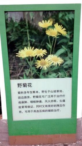 野菊花。きれいだな。 治療にも役立つみたい。 うちのマンションの壁。 30種類くらいの花の写真があった。 その一つ。