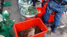 上海蟹の季節。 家の前で。