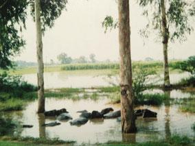 牛が水浴び リクシャーで国境に行く途中