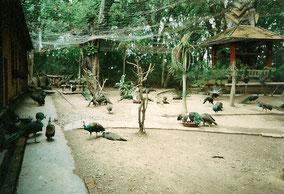 【雲南】版納。くじゃくがたくさんいた公園
