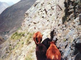 牛と一緒に下山