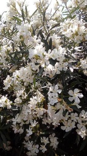 上海にたくさん咲いてて気になった。