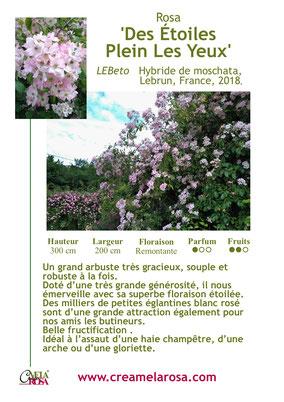 Un très grand arbuste Hybride de Moschata à utiliser comme grimpant....une jolie allure pour des scènes sauvages ou romantiques...une floraison abondante et remontante de longs panicules chargés de centaines de petites eglantines...