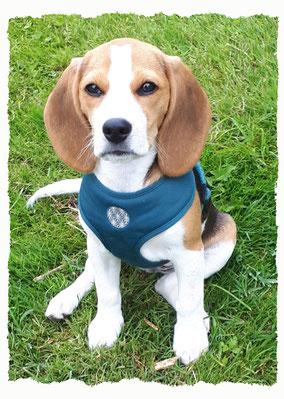 Chiot Beagle à l'école pour chiots à Dax
