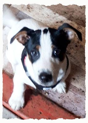 Chiot Jack Russel Terrier à l'école pour chiots à Dax