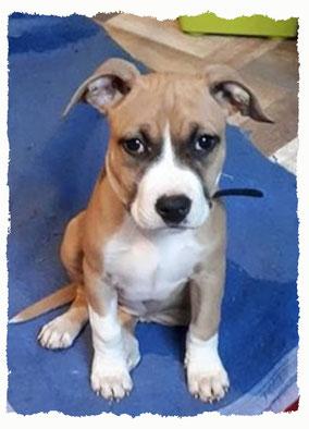Chiot American Staffordshire Terrier à l'école pour chiots à Dax