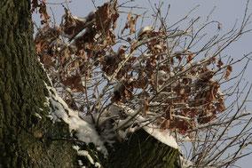 Afgezaagde boomtak met oude bladeren in de sneeuw . Kleurfoto;
