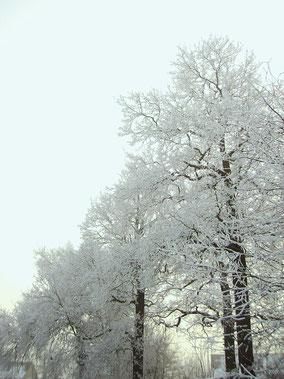 Inlandse eiken aan een laan in de sneeuw. Kleurfoto.
