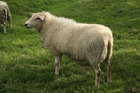 Een schaap in de weide . Kleurfoto.