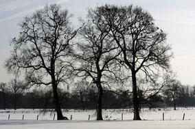 Sneeulandschap met vlakke weide en drie inlandse eikenbomen.