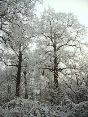 Inlandse eiken aan een laan in de sneeuw.