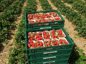 Gepflückte Erdbeeren in Kisten
