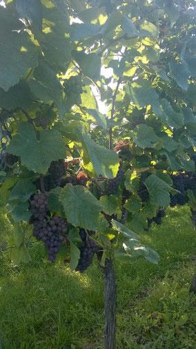 Weinrebe im Herbst