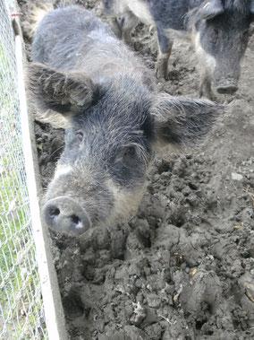 Hai, ich bin ein Wühl.....ach nein, ein Wollschwein