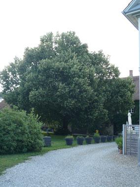 Linde nahe der Mühle in Ittenhausen