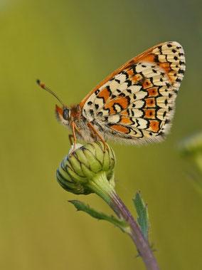 Wegerich-Scheckenfalter Melitaea cinxia in Sachsen Tagfalter Pollrich