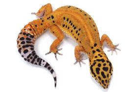 Afghan Tangerine Adult by Ultimate Geckos