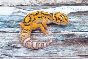 Afghan Tangerine Radar Adult by Ultimate Geckos