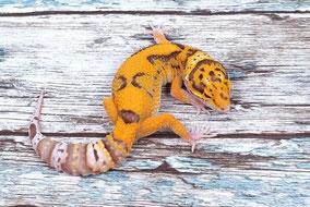 Afghan Tangerine Radar Subadult by Ultimate Geckos