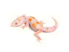 Enigma W&Y TUG Snow Bell Albino by The Urban Gecko