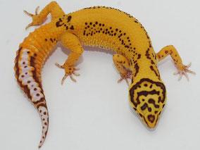 Afghan Tangerine Bell Albino Adult by Ultimate Geckos