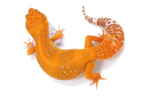Afghan Tangerine Tremper Albino Adult by Ultimate Geckos
