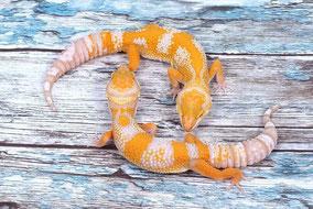 Afghan Tangerine Tremper Albino Subadult by Ultimate Geckos