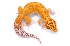 W&Y Afghan Tangerine Radar Adult by Ultimate Geckos