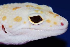 Enigma Raptor ( Tremper Albino Eclipse) by Steve Sykes
