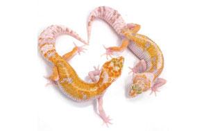 W&Y Afghan Tangerine Mack Snow Tremper Albino Subadult by Ultimate Geckos