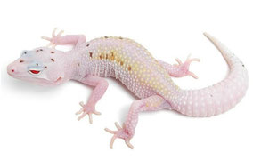 Calcite (Enigma W&Y Mack Snow Bell Albino Eclipse) by The Urban Gecko
