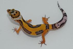 Afghan Tangerine Subadult by Ultimate Geckos