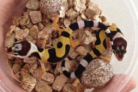 Afghan Tangerine Jungtiere by Ultimate Geckos