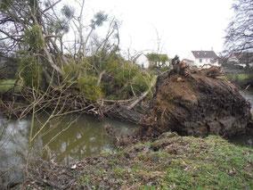 Peuplier tombé en travers de l'Orne - Pierre Loridon